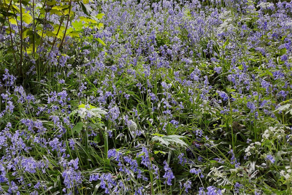 bluebells in the woods Henley